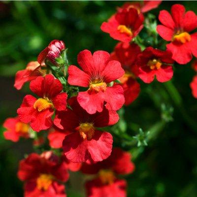 Gartenpflanzen, Beetpflanzen, Balkonpflanzen, Gärtnerei Weißer's Floraparadies