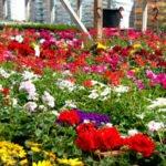 Balkonpflanzen, Beetpflanzen und Pflanzen für Gartenbeete aus Ihrer Gärtnerei Weißer's Floraparadies in Schabenhausen, Niedereschach.