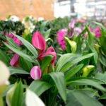 Zimmerpflanzen, Blühpflanzen, Grünpflanzen und Blattpflanzen aus Ihrer Gärtnerei Weißer in Schabenhausen